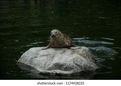 Grey Seal on rock in water