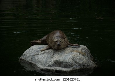 Grey Seal on Rock in water