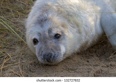 Grey Seal pup, Halichoerus grypus, resting in sand dunes on the North Norfolk coast.