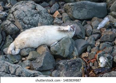 Grey seal pup (Halichoerus grypus) next to plastic bottle. Anthropomorphic thinking pose. Pembrokeshire, Wales, UK
