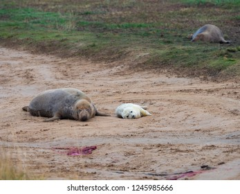 Grey Seal Pup and Mother Playing. At Donna Nook, Lincolnshire.