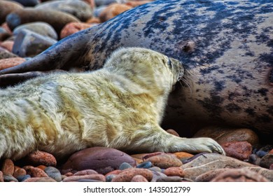 Grey seal pup not long born being suckled by his mother on a rocky coast