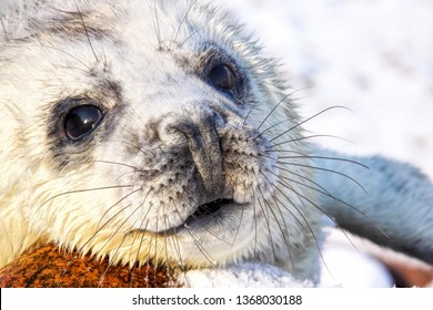 Grey seal pup in the snow