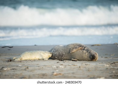Grey seal pup is suckling by it's mother