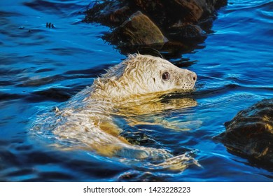 A grey seal pup taking his first swim in the ocean