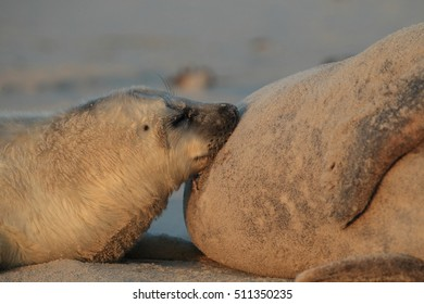 A Grey seal pup in white natal fur is suckled by its mother on the beach Helgoland Island, Schleswig-Holstein, Germany, Europe