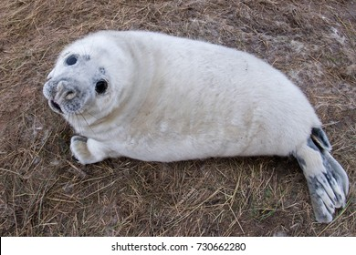 grey seal puppy while relaxing at Donna Nook Lincolnshire beach England