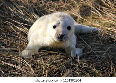 Grey Seal pups at Blakeney Point