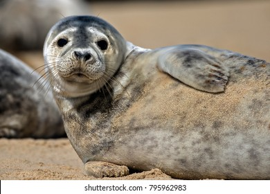 Grey seal pups on Norfolk beach