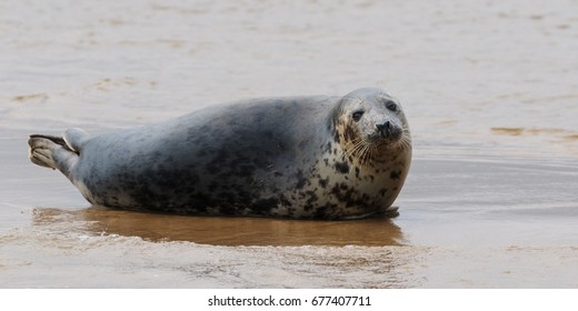 Grey seal taking it easy. A grey seal looks quite relaxed as it rests on sand.