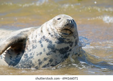 Grey seal UK