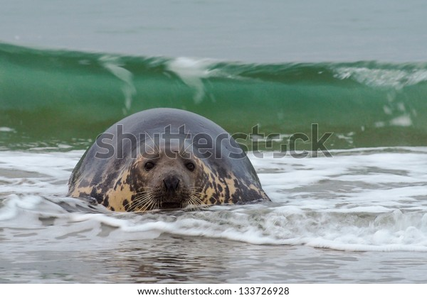 grey seal in the water