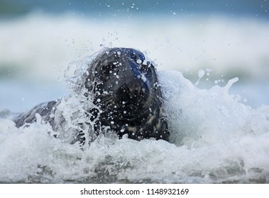 Grey seal in waves