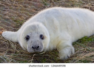 Grey seals converge on Donna Nook nature reserve in Lincolnshire, England, United Kingdom to give birth to their pups