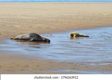 Grey Seals at Donna Nook Nature Reserve