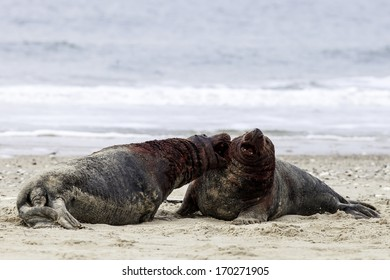Grey seals fighting at the beach of Helgoland