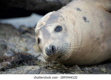 Grey seals in great britain UK