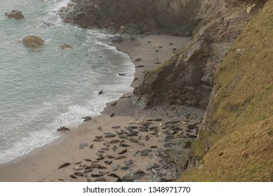 Grey Seals (Halichoerus grypus) Basking on the Beach at Mutton Cove at Godrevy Point by the Atlantic Ocean on the South West Coast Path between Portreath and Hayle in Rural Cornwall, England, UK