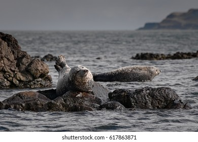 Grey Seals (Halichoerus Grypus) on Shore of Scotland, United Kingdom