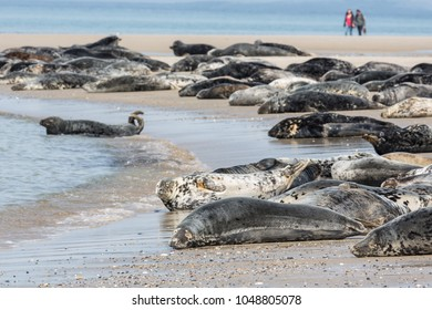 Grey seals resting at the beach of German island Helgoland with walking people at the background