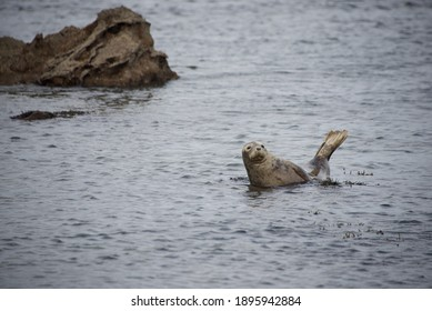 Grey seals from the UK