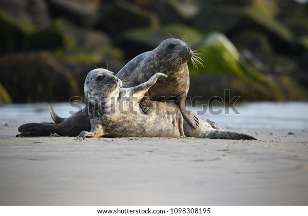 Grey seals young play on beach