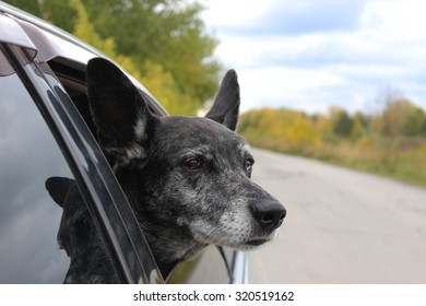 Grey shepherd looks out of the car