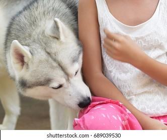 grey siberian husky puppy dog smelling on asian girl