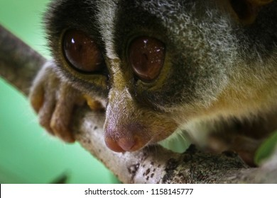 Grey Slender Loris in Sri Lanka