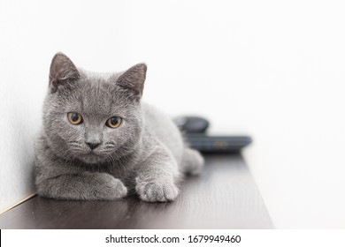 A grey smoky furry British cat looks at the camera on a white background with space for text. The concept of Studio photography for articles and advertisements about Pets and caring