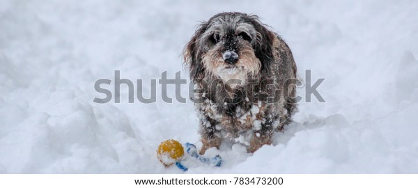 A grey and snowy dachshund playing with a ball in snow