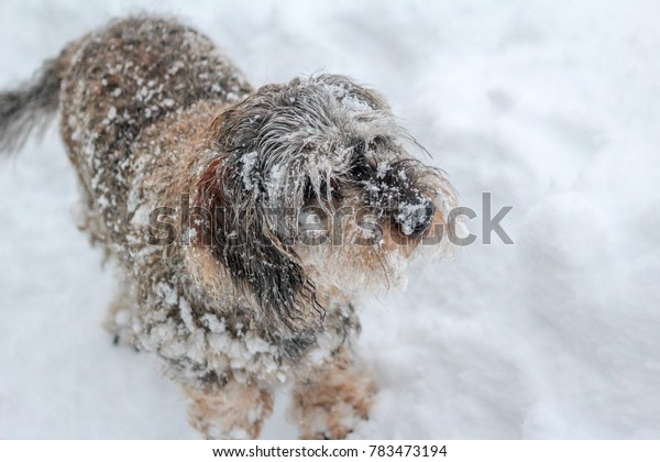 A grey and snowy dachshund playing in snow