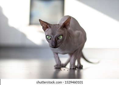 Grey sphynx cat with green eyes playing