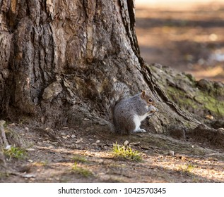 Grey squirrel checking out shelled peanut while sitting next to a tree