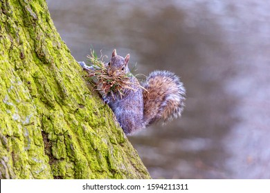 Grey squirrel climbing tree with nesting material looking at camera