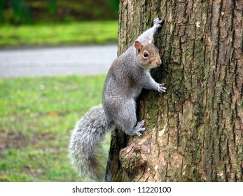 Grey Squirrel Clinging to Tree