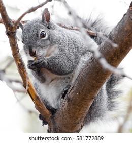 Grey Squirrel eating Acorn in Tree