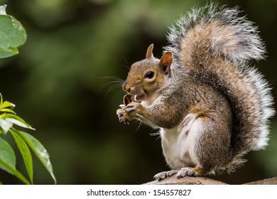grey squirrel eating nut