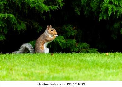 Grey squirrel feeding in a garden with woodland background