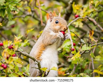 A grey squirrel feeding on ripped hawthorn berries among the tree crown. Edinburgh, Scotland, UK