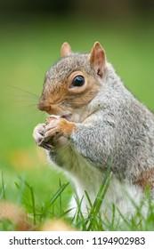 Grey squirrel feeding in park in London. The grey squirrel ar a invasive species in europe