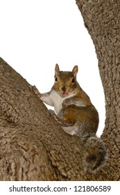 A grey squirrel looking at you while sitting on a tree with open mouth and pink tongue