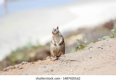 Grey squirrel on the edge of a cliff in North County San Diego