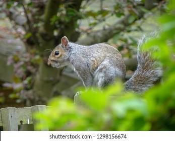 Grey Squirrel on a fence. Putney Heath, London, UK