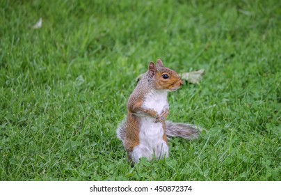 Grey squirrel on grass with head turned to the side.