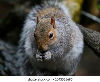 Grey Squirrel on a tree