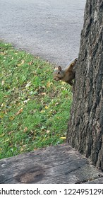 Grey Squirrel on a tree in a park