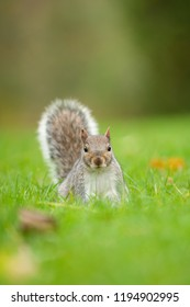 Grey squirrel in park in London. The grey squirrel ar a invasive species in europe