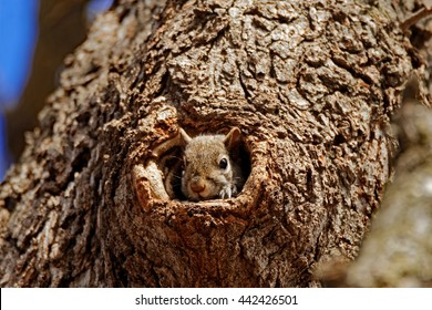 A Grey Squirrel peers out of a hole in a tree. These adorable tree squirrels can often be found scampering around parks and wooded areas.