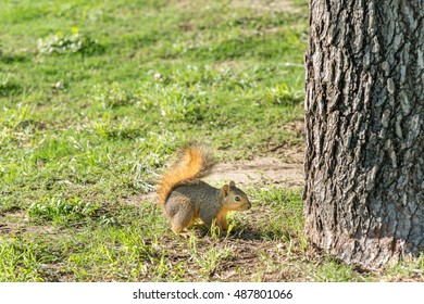 Grey squirrel ready to jump on a tree